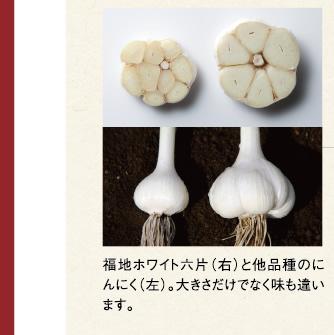 福地ホワイト六片(右)と他品種のにんにく(左)。大きさだけでなく味も違います。